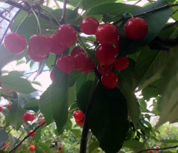 cherry picking 5